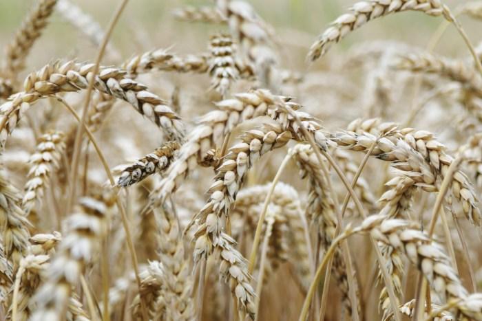 C:\Users\Zubair\Downloads\nature-grain-cornfield-malt-food-grain-dinkel-wheat-1593115-pxhere.com.jpg