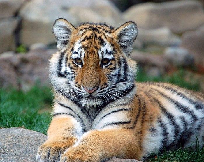 File:Big Tiger Cub.jpg