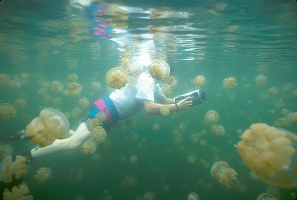 https://upload.wikimedia.org/wikipedia/commons/4/43/Diver_and_jellyfish%2C_Jellyfish_Lake%2C_Palau_Islands%2C_Micronesia.jpg