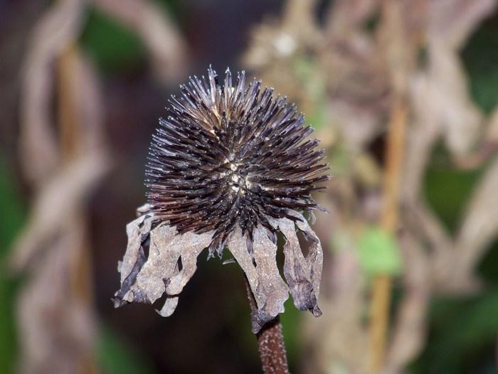 https://www.publicdomainpictures.net/pictures/20000/velka/dead-flower-110661298904881akH.jpg