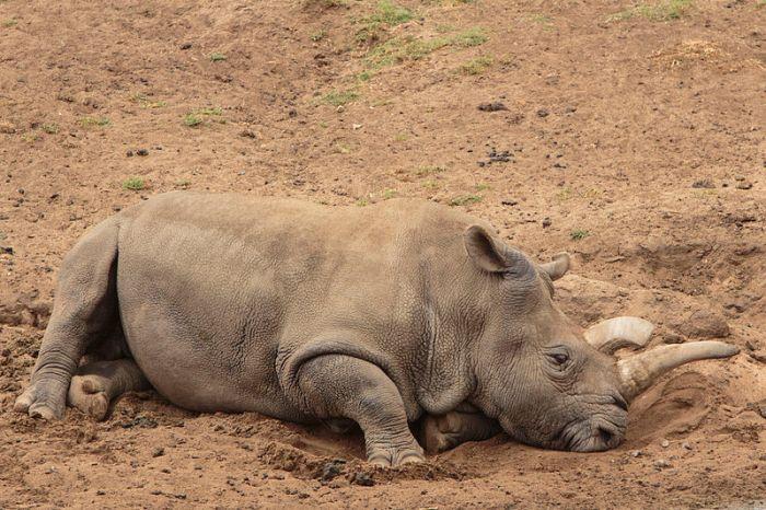File:Northern White Rhino.jpg