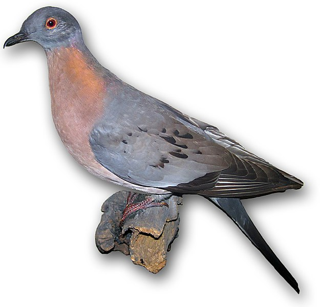 File:Passenger pigeon 6.jpg