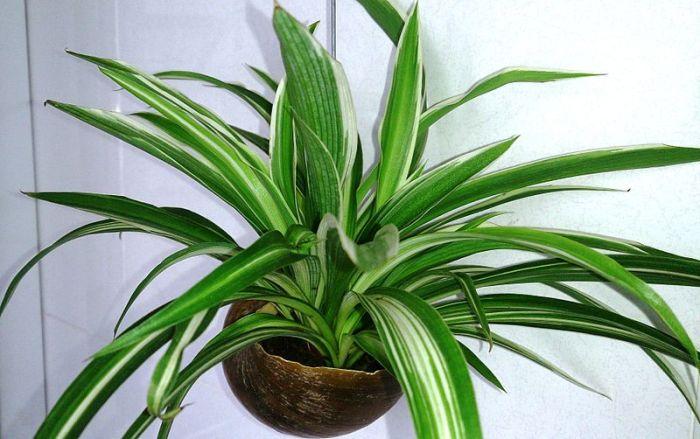 File:Spider Plant (Chlorophytum comosum) 1.jpg