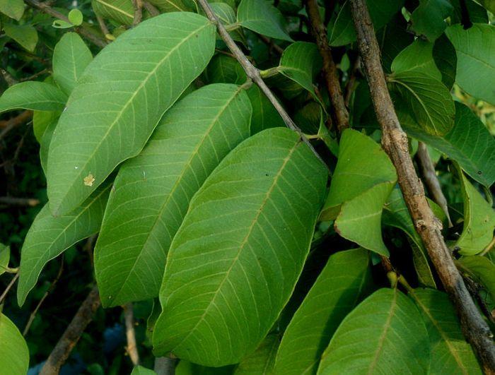 File:Psidium guajava (Guava tree leaves) at Bhadrachalam 01.JPG
