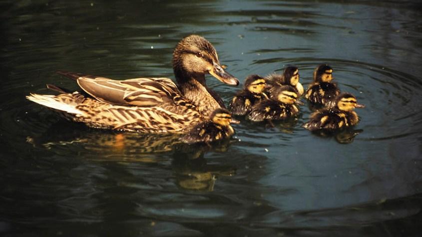 Anade aves acuáticas invernantes