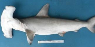 Um tubarão-martelo; nadadeira é item de luxo na China | (Foto: Otto Bismarck F. Gadig)
