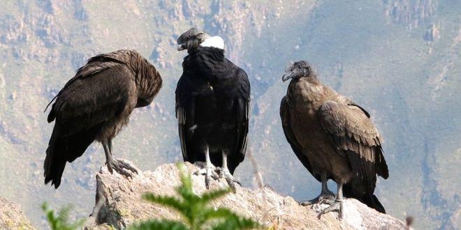 Condor en Peru