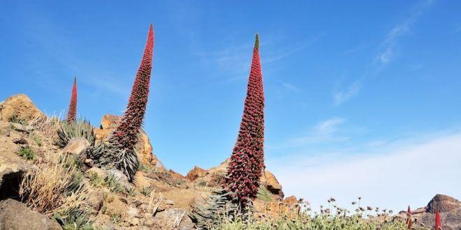 Plantas del Teide
