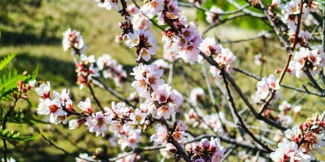 Ruta del almendro en flor en Tenerife
