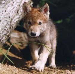 cachorro de lobo mexicano