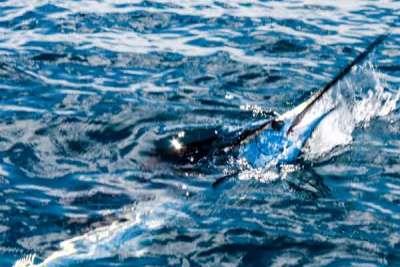 Deep Sea Sailfish