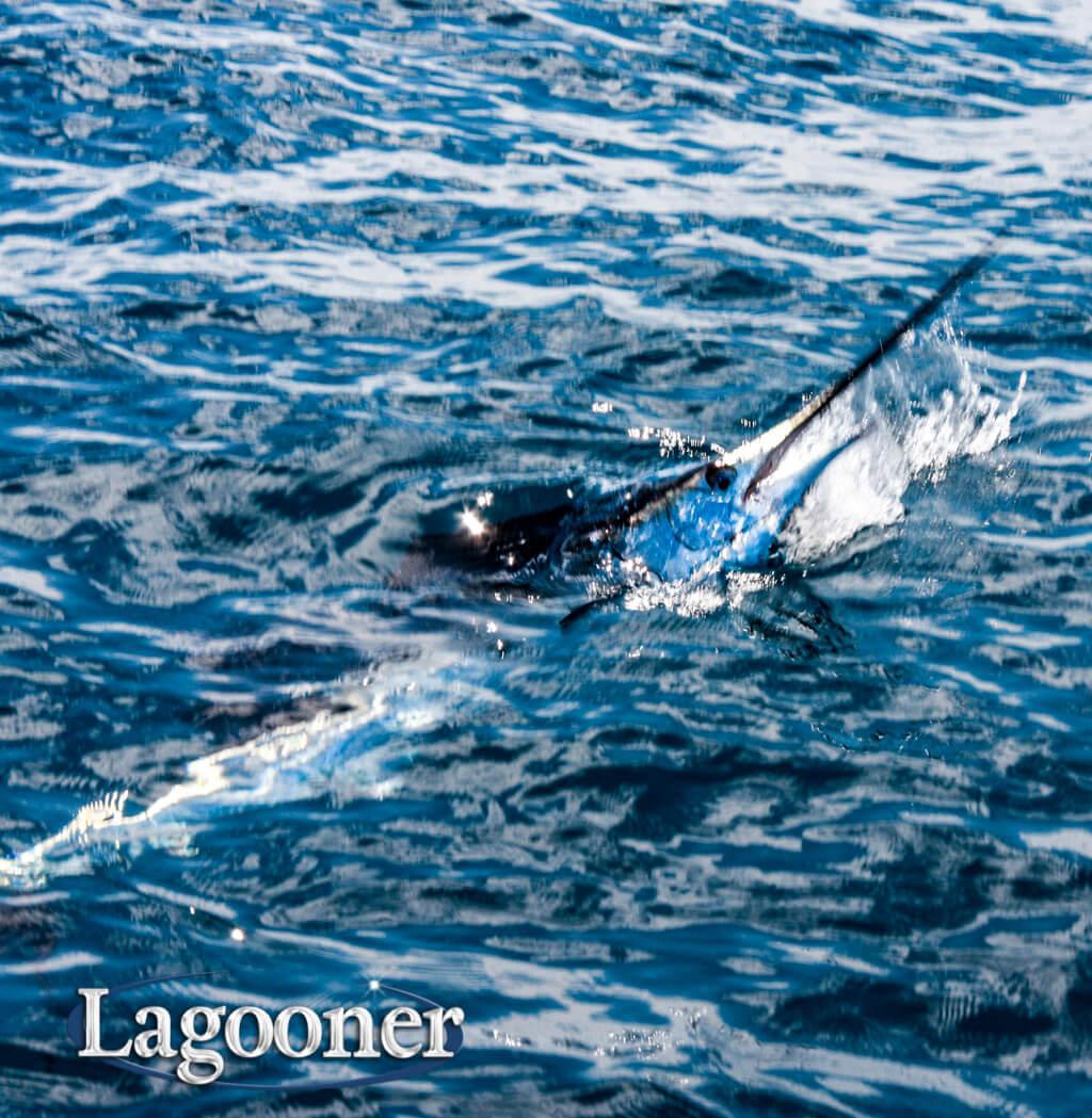 sailfish saltwater fish