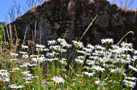 ...and the Marguerites