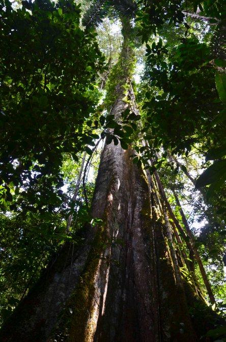Giant, sacred kapok tree