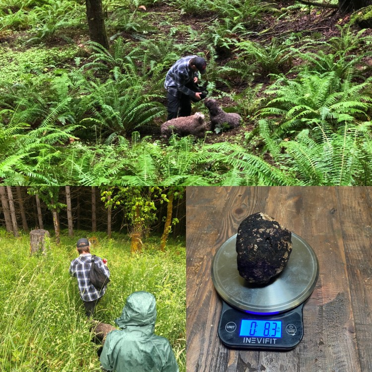 Amico Roma Puppies giving a guided truffle hunting tour in the Pacific Northwest forest with two trained Lagotto Romagnolo and weighing a large truffle.