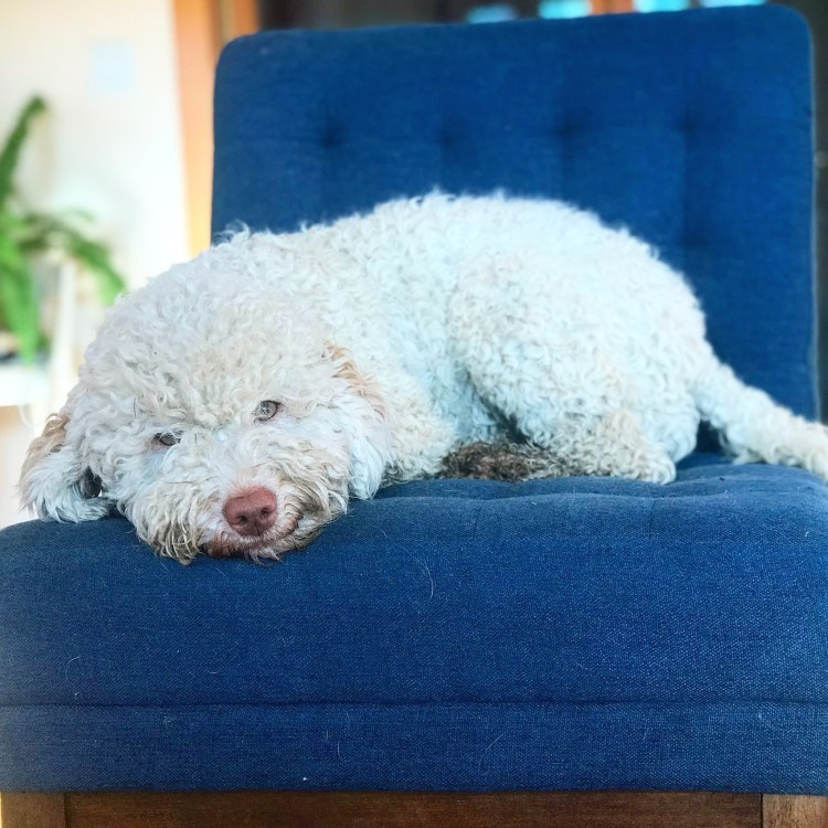 Amico Roma Puppies white Lagotto dog Ava lounging on a blue chair inside the home, smiling