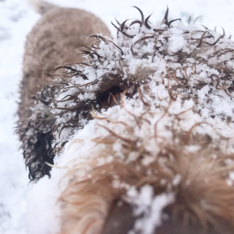 close up photo of one of amico roma puppies lagotto romagnolo dogs covered in snow