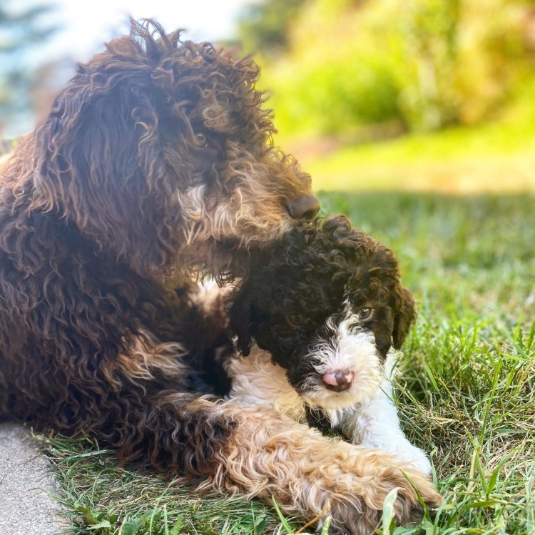 Amico Roma Puppies lagotto named Stitch protecting a little brown and white Lagotto puppy