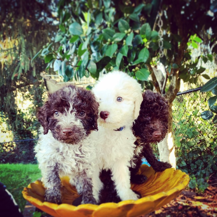 three lagotto puppies standing in a bird wash on the amico roma puppies farm
