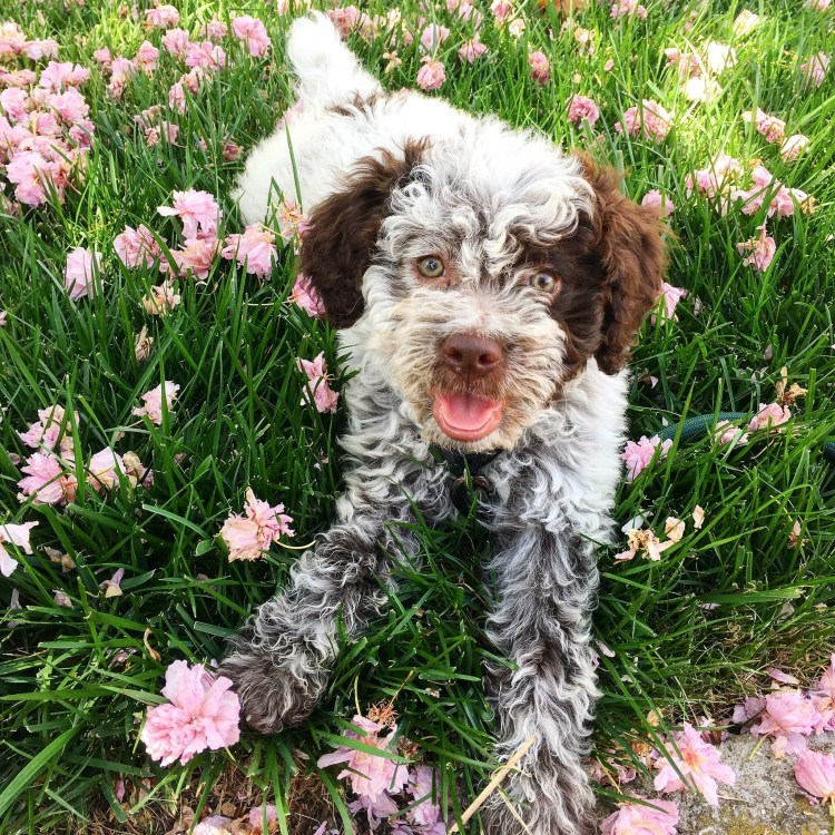 roan lagotto romagnolo puppy laying in a patch of pink flowers at Amico Roma Puppies