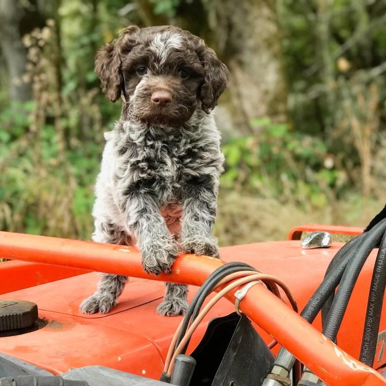 young lagotto puppy on the amico roma puppies farm orange tractor