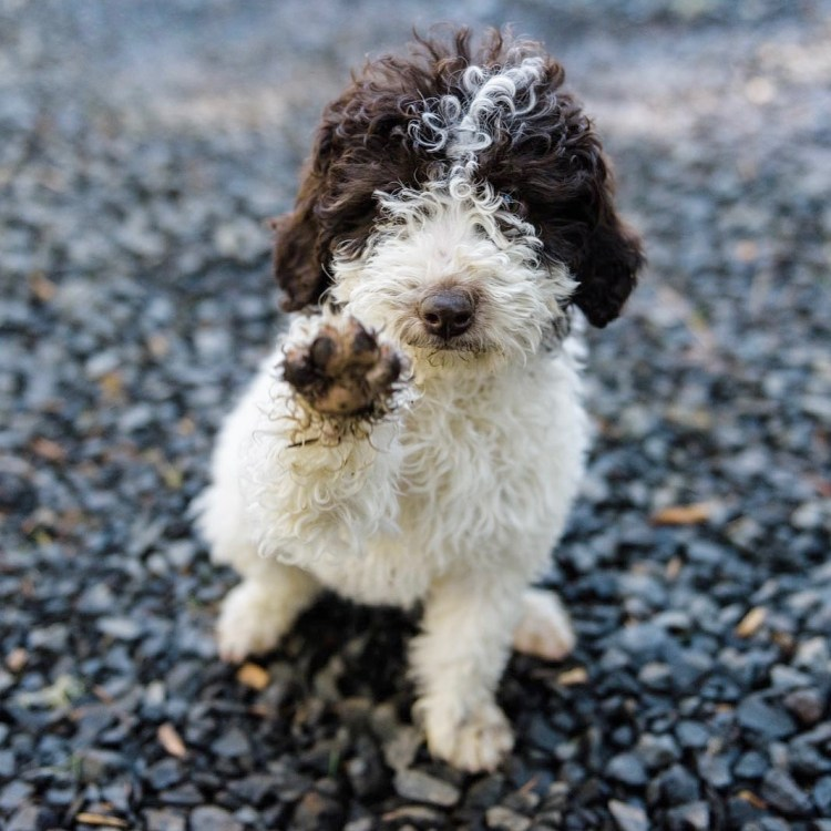 white and brown lagotto puppy waving his one paw to say hi and sitting on gravel