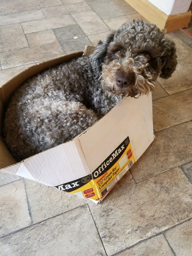 amico roma puppies' grey lea lagotto hardly fitting inside a cardboard box on the kitchen floor