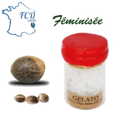 Graines de collection Gelato feminisée