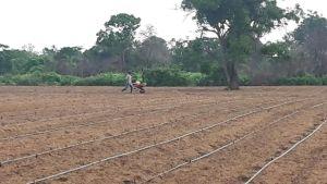 Son unas 100 hectáreas se encuentran sembradas y ellas están en los municipios de San Juan, Distracción, Fonseca, Maicao y el Distrito de Riohacha.