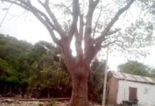 En la comunidad de La Sierrita quiren tumbar un árbol denominado Peonia y los pobladores se oponen, piden apoyo de Corpoguajira.