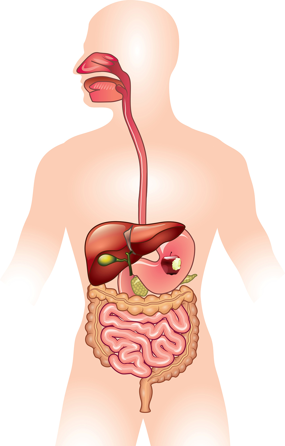 Picture Of Digestive System With Labels : picture, digestive, system, labels, SNC2P
