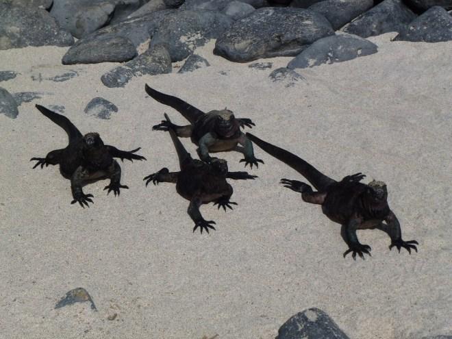 Iguanes marins - Española
