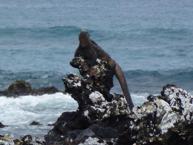 Iguane marin - Las Tintoreras