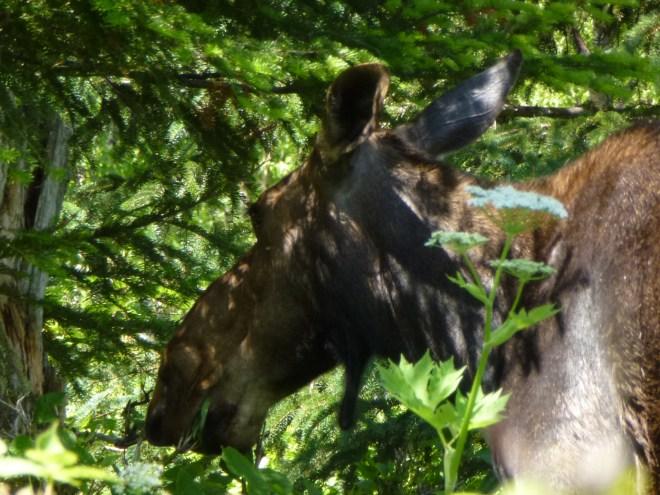 Orignal au Mont Ernest-Laforce