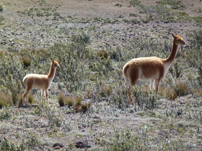 Vigognes au Chimborazo