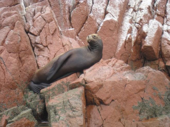 Lion de mer - Islas Ballestas