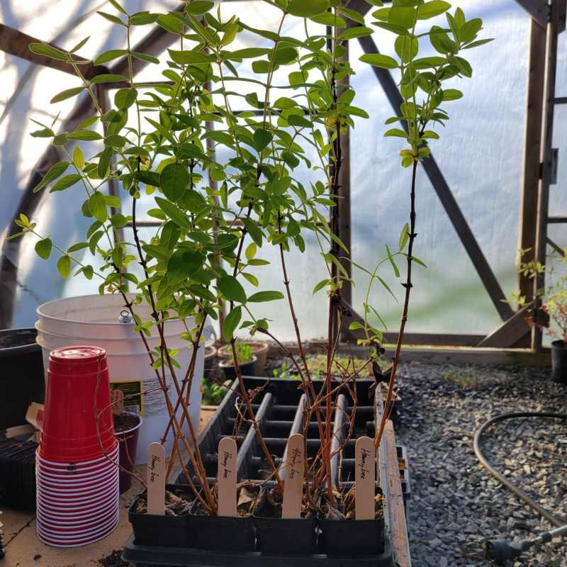 Haskap Plants