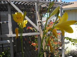 day lily in front of honeysuckle