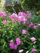 pink phlox, daylily behind
