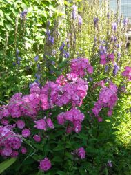 pink phlox, purple (sad) campanula