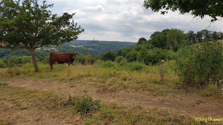 Blick auf Kuh und Schaumburg