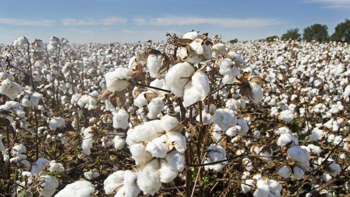 Cotton price in Pakistan 2021