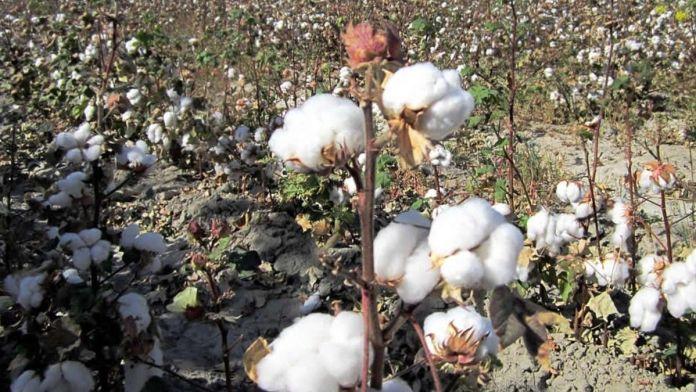 cotton production in pakistan