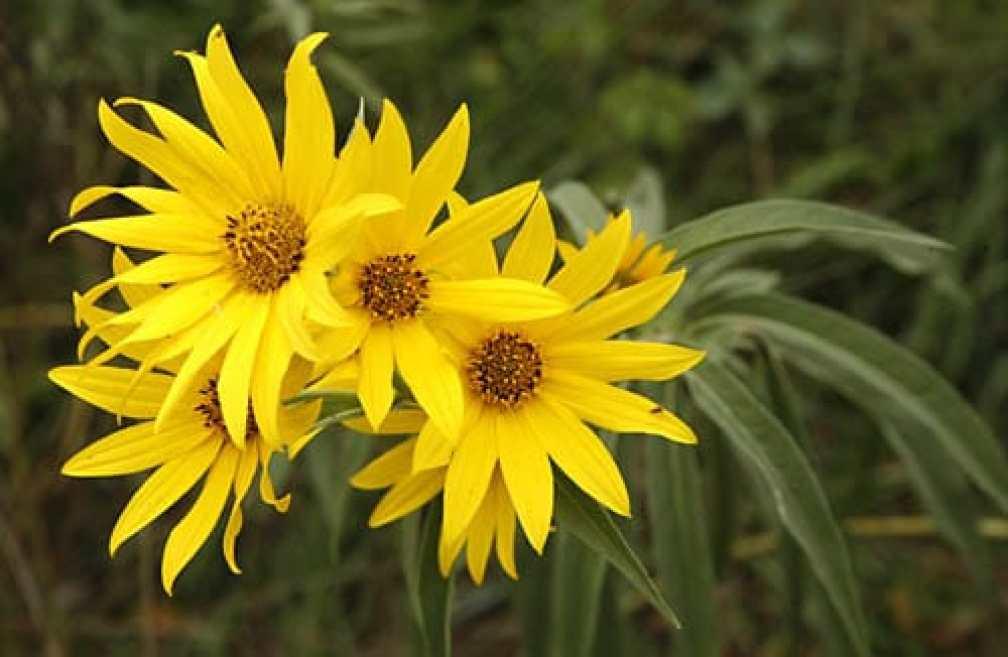 Helianthus maximiliani_flowersH