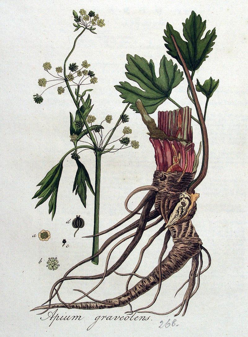 Apio, cómo se cultiva
