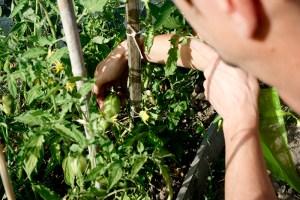 Bolsas de organza para proteger tomates