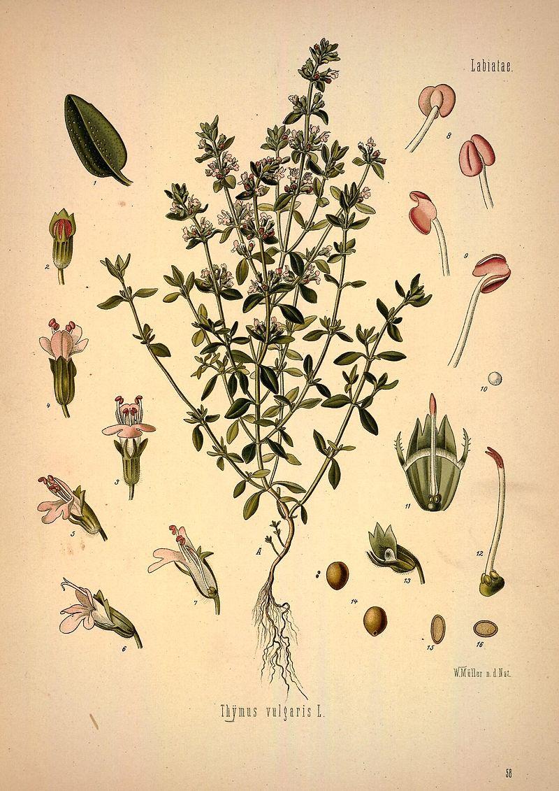 ¿Cómo se cultiva el tomillo?