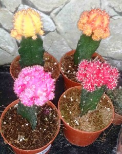 These albino cacti are grafted onto green cacti that supply their energy needs through the photosynthesis they are unable to carry out.