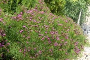 Vernonia lettermannii Iron Butterfly 1592
