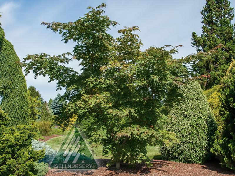 20170713G Acer x pseudosieboldianum Arctic Jade - Summer Tree_6170.jpg